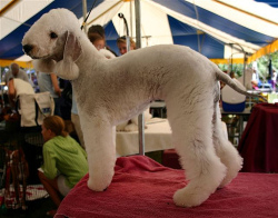Blue Bedlington Terrier